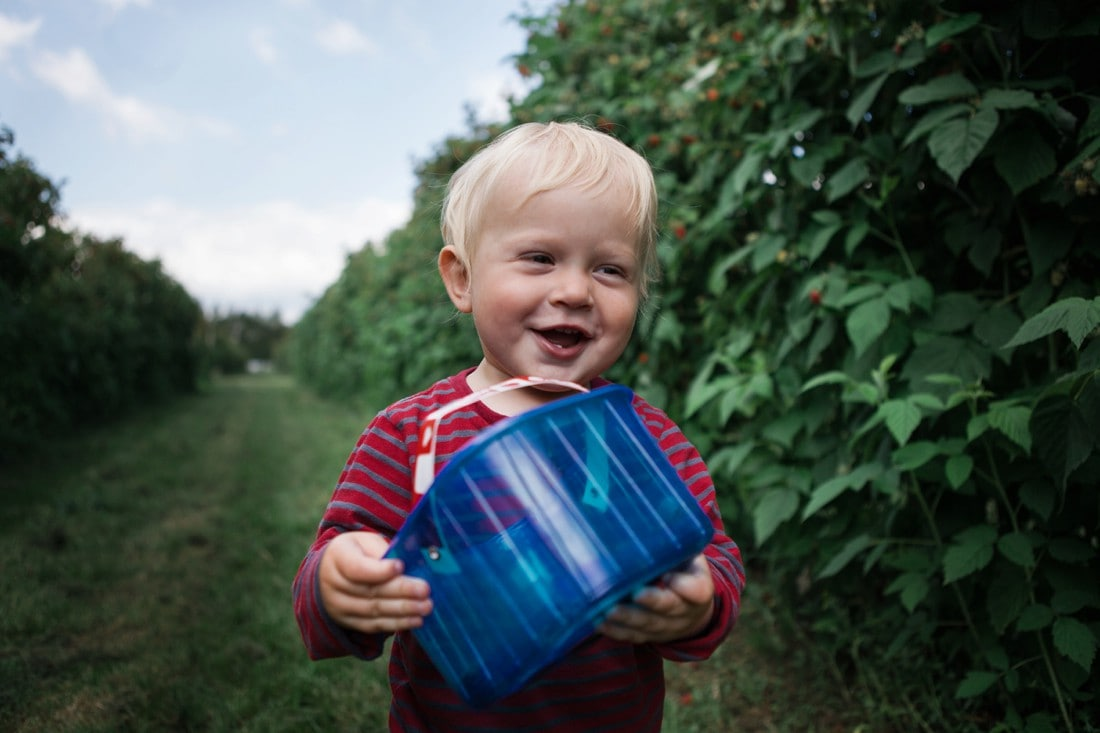 toddler picking fresh raspberries at Garsons farm in Esher