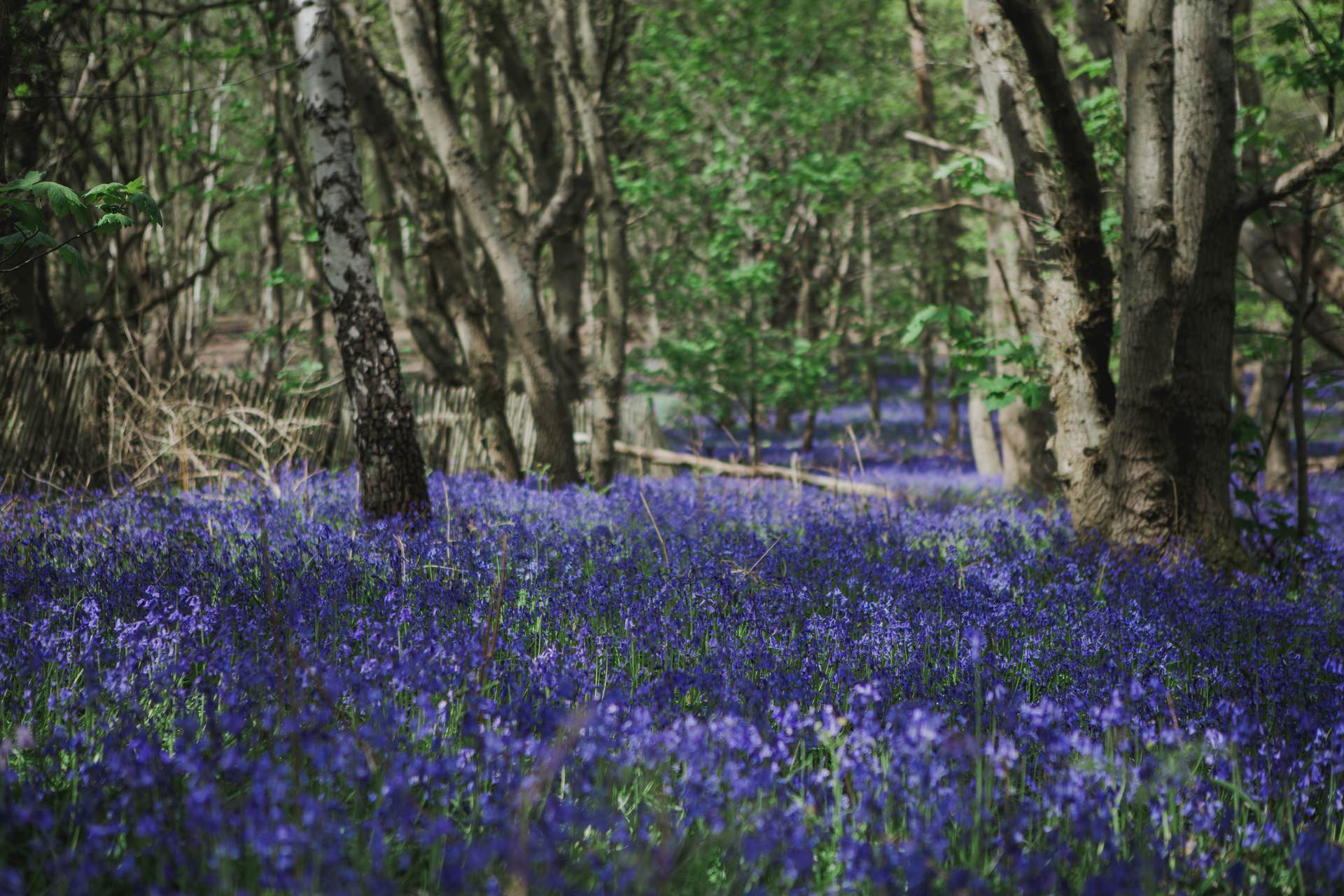 bluebell wood in cobham
